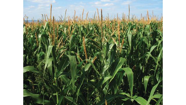 corn-in-field_10755932.psd